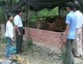 Hiệu quả từ dự án hỗ trợ bò sinh sản cho người khuyết tật