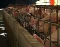 Chăn nuôi heo an toàn – hướng đi phù hợp
