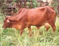 Vĩnh Long thực hiện dự án hỗ trợ bò giống và thiết bị sản xuất nông nghiệp