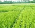 Vĩnh Long có 7 cơ sở đạt tiêu chuẩn sản xuất lúa giống chất lượng cao