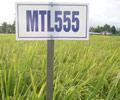 Trại Lúa giống tỉnh nghiên cứu thành công nhiều giống lúa mới