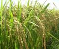 Hiệu quả dự án lúa chất lượng cao của Hội Nông dân