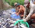 Vĩnh Long nuôi thủy sản theo quy hoạch gắn với công nghiệp chế biến