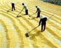 Sản lượng lúa Đông Xuân và Hè Thu giảm 6750 tấn
