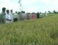Trà Ôn có 700 ha lúa sản xuất theo mô hình bền vững chất lượng cao