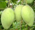Vĩnh Long đứng thứ 2 về diện tích vườn cây ăn trái trong khu vực ĐBSCL