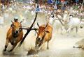 Lễ hội đua bò Bảy Núi lần thứ 18 tranh cúp Truyền hình An Giang