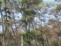 Sâu róm tàn phá hàng chục ha rừng thông
