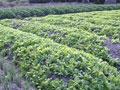 Nông dân xã Phước Hậu cung cấp trung bình 6 tấn rau/ngày ra thị trường