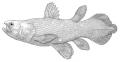 (THVL) Cá vây tay thời tiền sử còn sống được quay hình ở Indonesia