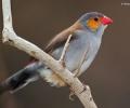 (THVL) Thi chọi chim ở thành phố Songkhla – Thái Lan