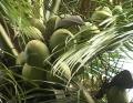 (THVL) Trồng dừa sáp sạch