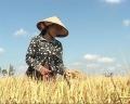 Nông dân và thị trường lúa Đông Xuân