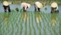 Tưới nước tiết kiệm cho cây lúa