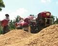Vụ Hè Thu và lợi nhuận của người trồng lúa