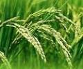 Mua tạm trữ 1 triệu tấn gạo với giá thấp nhất 3.500 đồng/ kg