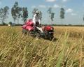 Những khó khăn trong tiêu thụ lúa Hè Thu