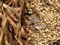 Trà Ôn tổ chức hội thảo đánh giá mô hình nhân giống đậu nành