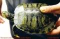 Buộc Caseamex tái xuất hoặc tiêu hủy rùa tai đỏ